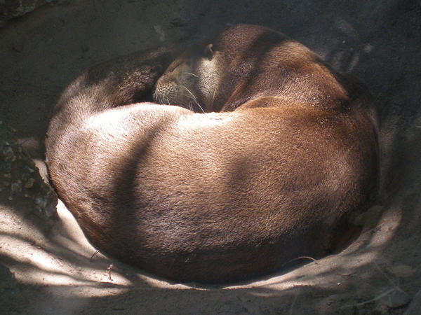 Brevard Zoo - Sleeping Otter by KSchnee