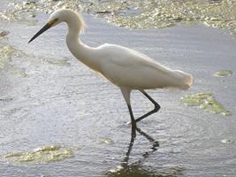 Florida - Egret by KSchnee