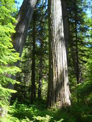 Leaning Cedar