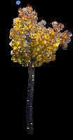 little sad maple by Amalus