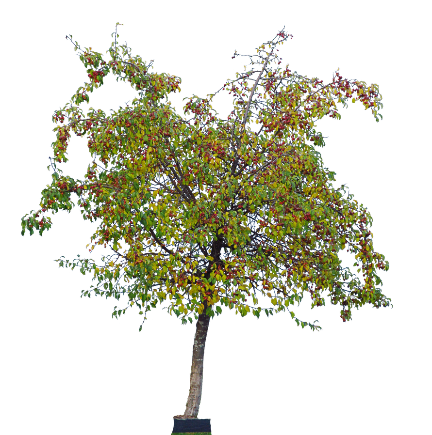 cherry tree by Amalus