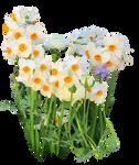 Narcissus tazetta by Amalus