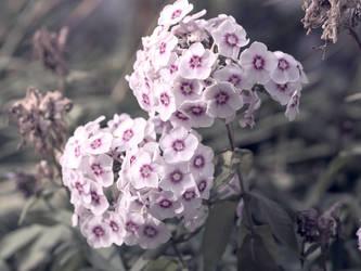 garden phlox by Amalus