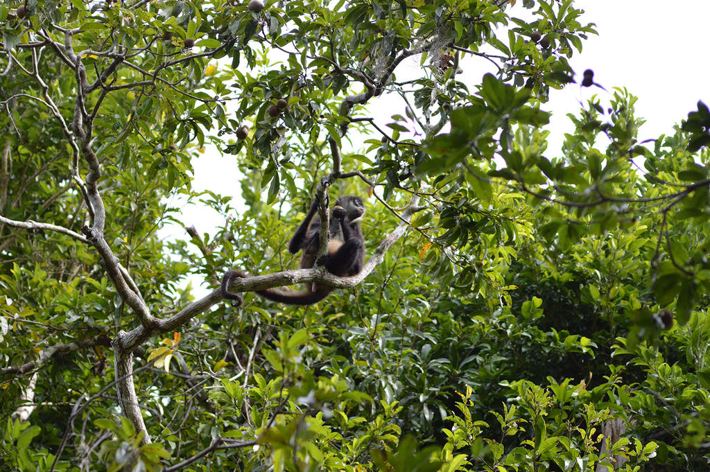 Spider Monkey by Dlaeth
