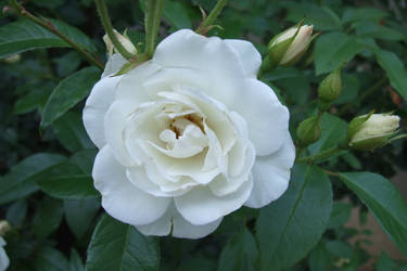 White Rose by Mifti-Stock