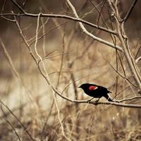Red-wing by jenniferstuber