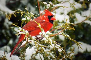 Winter Cardinal by jenniferstuber