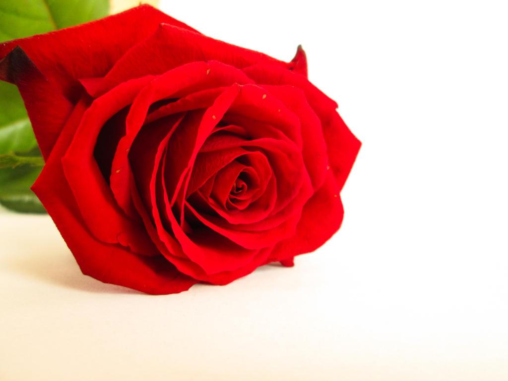 17 beautiful red rose - photo #28