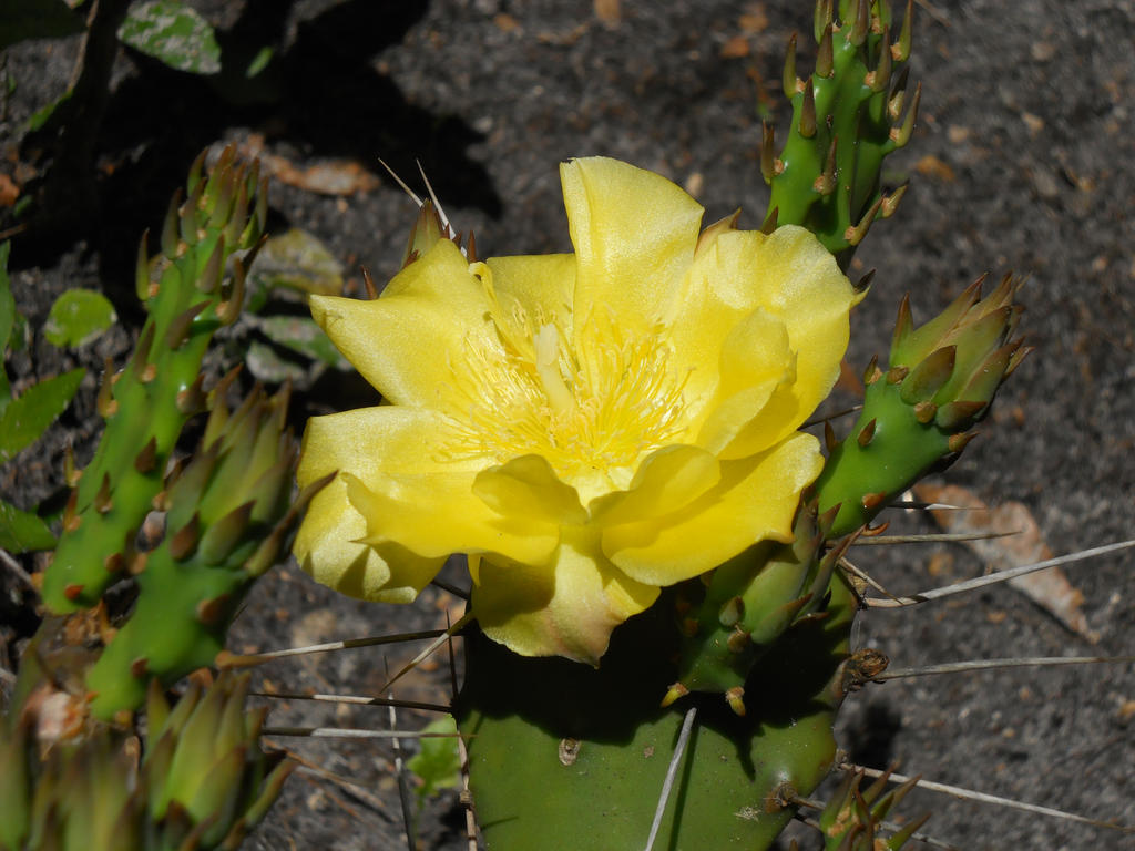 Yellow rose of texas cactus flower by killjoykillerklown on deviantart yellow rose of texas cactus flower by killjoykillerklown mightylinksfo