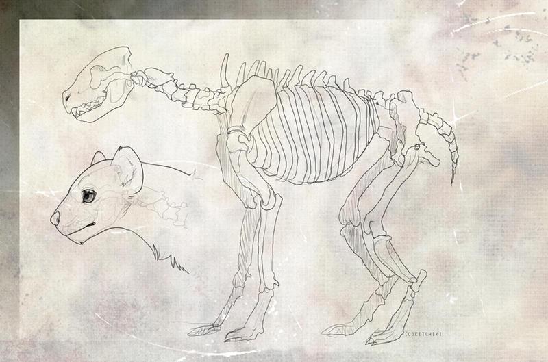 Hyena female anatomy