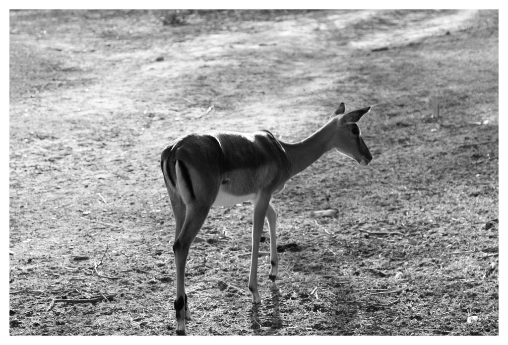 LONE ANTELOPE by planetzog