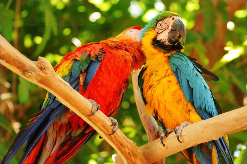 rainbow macaws by asainemuri