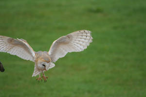 Owl in flight - Stock 3 by hyperactive-activate
