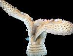 Barn Owl Stock - no bg