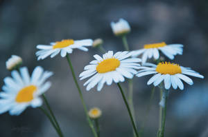 Daisies II by Focus-On-Me-Photo