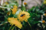 Bee by Focus-On-Me-Photo