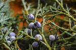 Juniper berries by Focus-On-Me-Photo