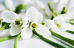 Close up snowdrops by Focus-On-Me-Photo