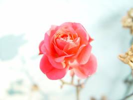 Rose by woolfier