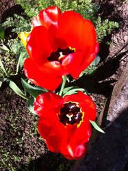 Red Tulips by LaetitiaEvalia