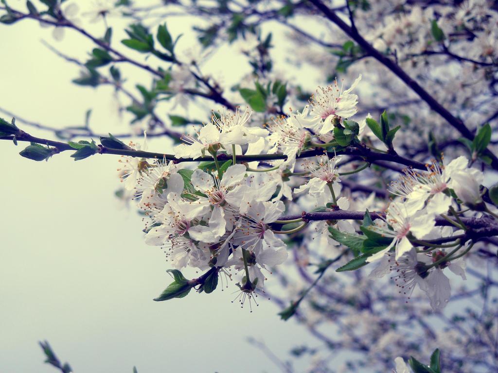 Cherry tree by xLaRiex