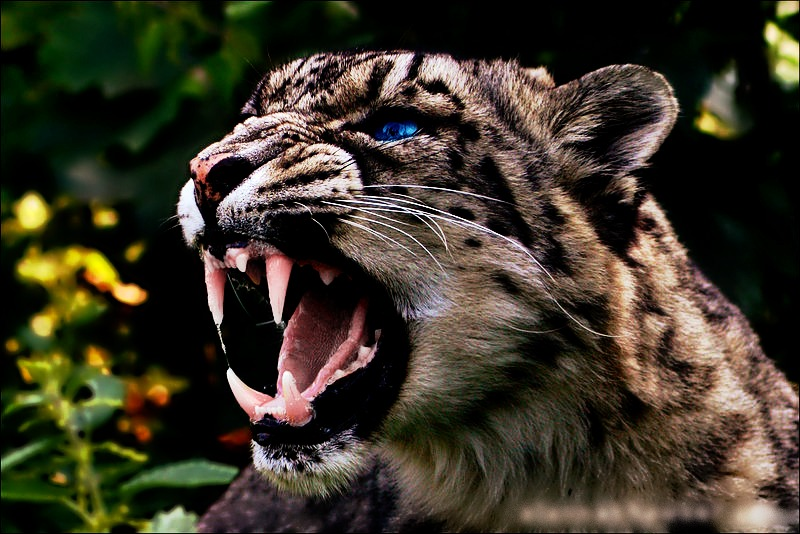 angry baby cheetah - photo #16