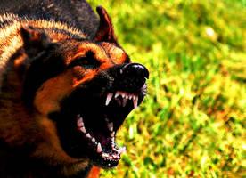 Angry German Shepherd Dog (Photoshopped) by KimmiPandaa