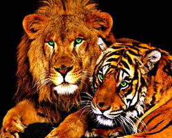 Lion and Tiger Friends Forever! (Photoshopped) by KimmiPandaa