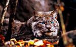 Canadian Lynx (Photoshopped) by KimmiPandaa
