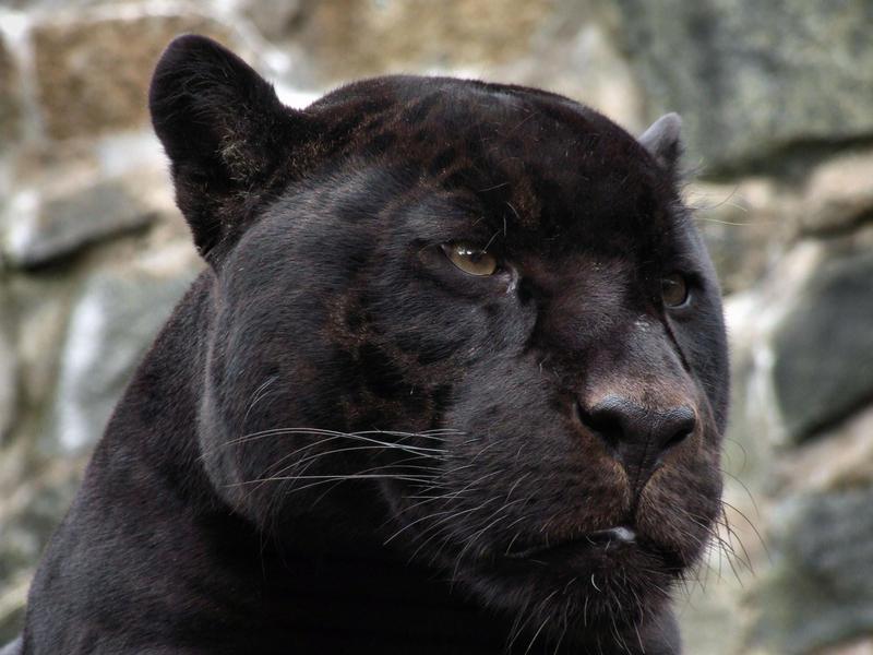 Black Panther By Portela On Deviantart: Panther 01 By Stphq On DeviantArt