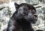 panther 06