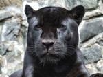 panther 07
