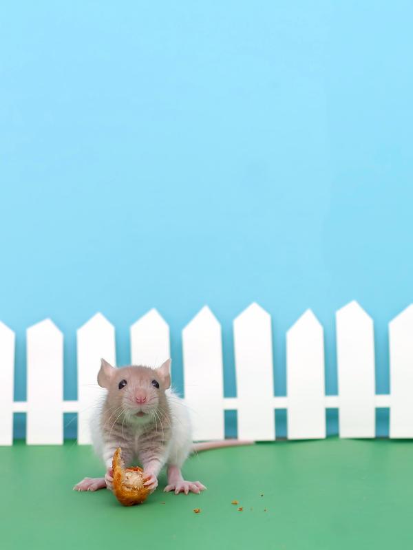 Baby Ratland by stphq
