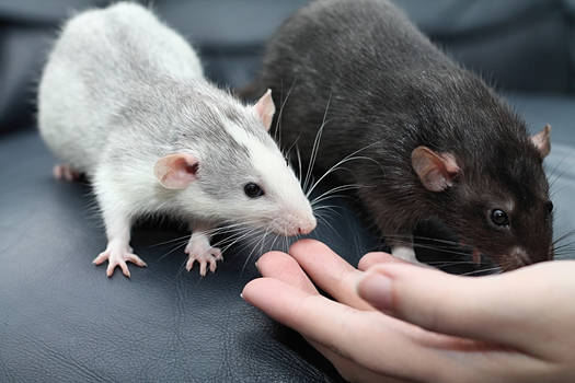 Meet our new ratties