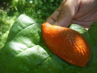 Orange Slug by xxRomanoForeverxx