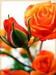 Orange Roses by inacom
