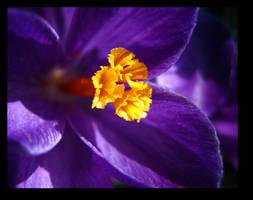 Purple Crocus by inacom