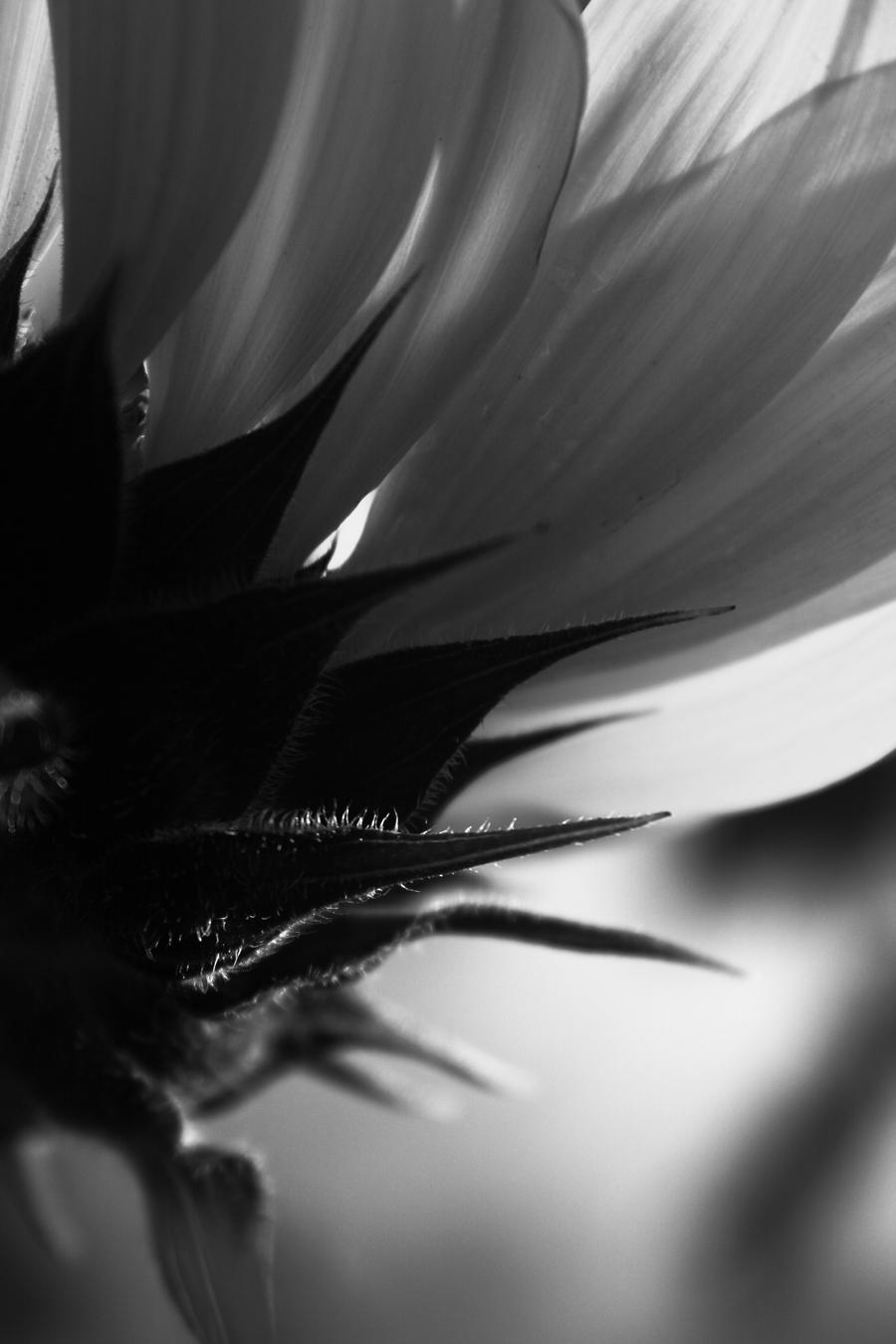 Black Sunflower by RuseOfPoison