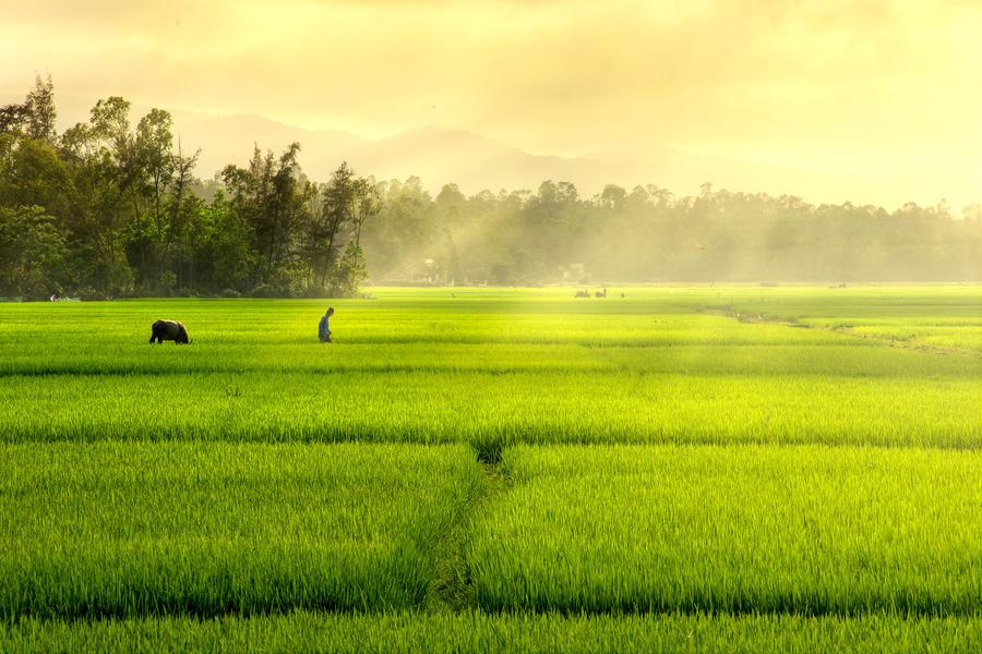 Rice field 01 by garki
