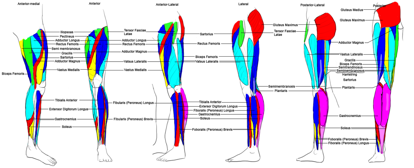 Legwork Leg Muscle Anatomy By Polybcarbonate On Deviantart