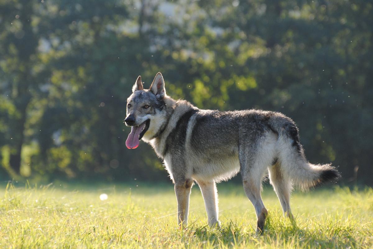 Wolfdog hybrid Ceskoslovensky_vlcak__czechoslovakian_wolfdog__by_wazniaki-d4rgnxs