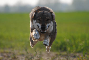 Fly wolfdog, fly!