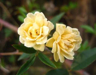 Honey Rose by ZenSpy