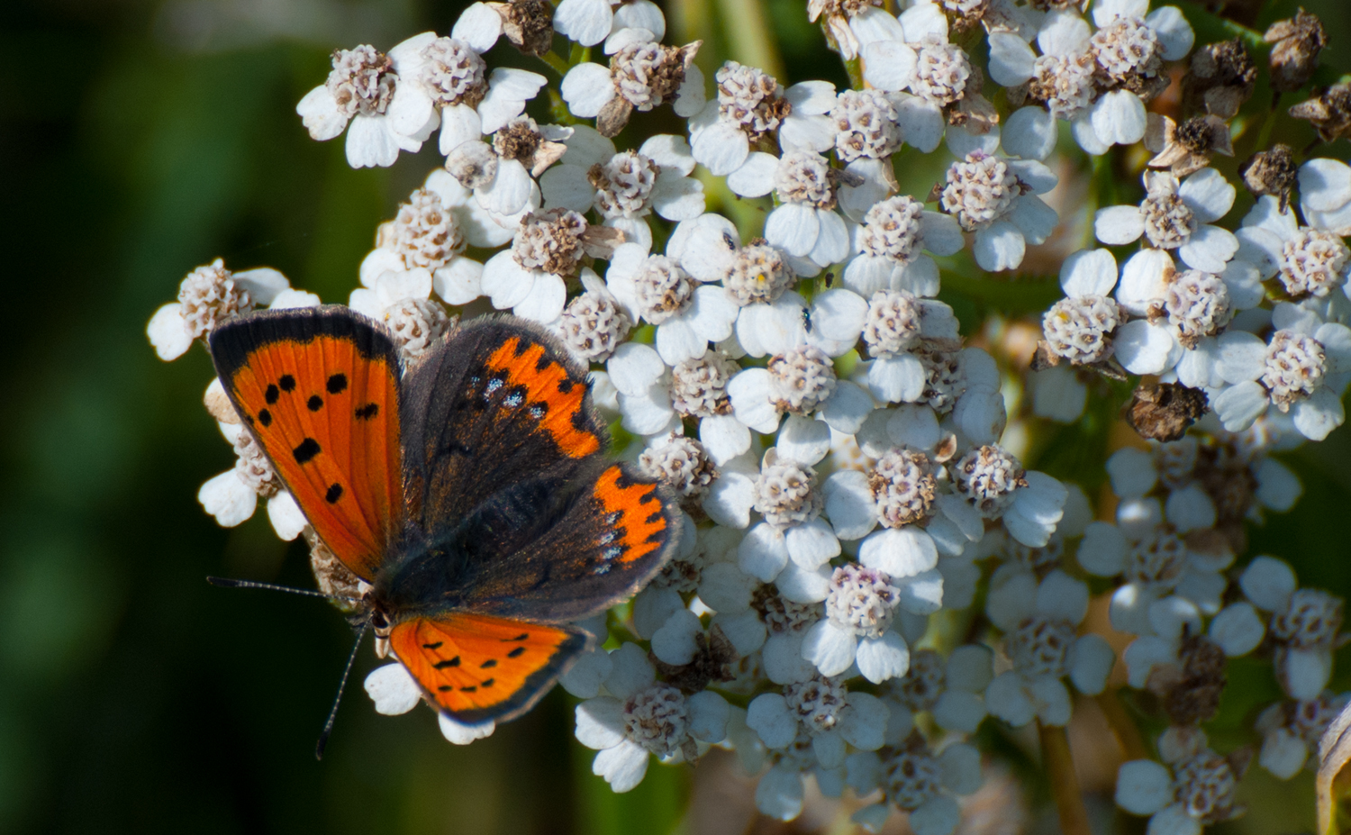 Lycaena phlaeas L. by ArrowUnicorn
