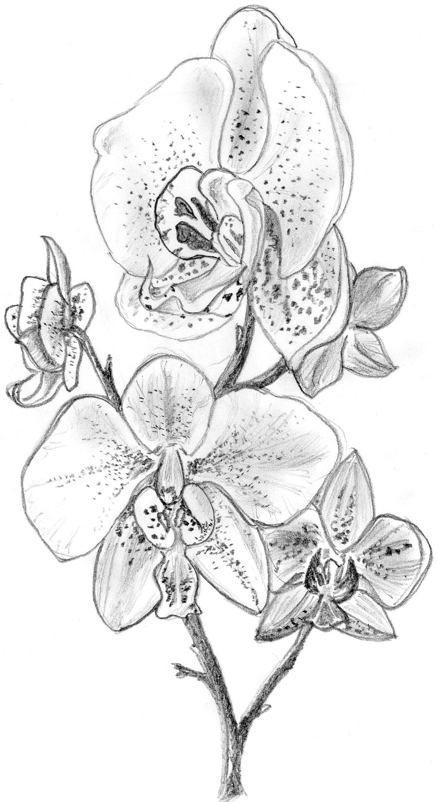 Orchid Flower Line Drawing : Orchid by irongarlic on deviantart