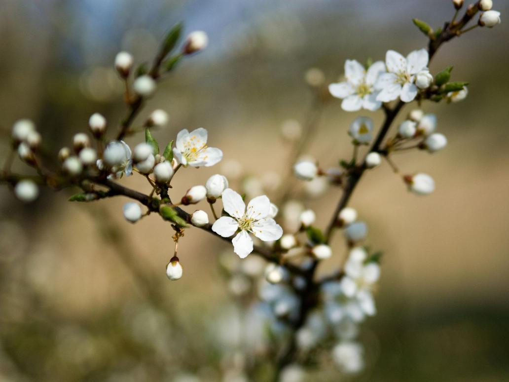 flowering cherry by tie82