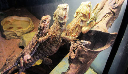 Leatherback Bearded Dragons by reptileweirdo90