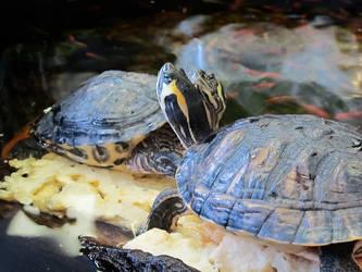 TURTLES by reptileweirdo90