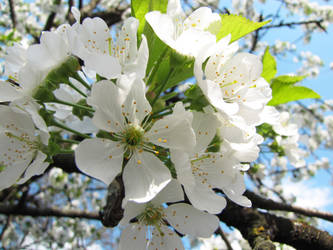 cherry blossom by zarina13