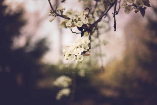 pear tree blossoms ii